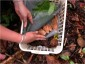 Photo of Leaf decomposition baskets hold apart the leaf litter layers in a hurricane simulation experiment in the Luquillo Experimental Forest of Puerto Rico. Leaf decomposition and nutrient cycling were studied in decomposition baskets with screens placed between layers to measure decay rates, nutrient movement between layers, phosphorus retention, and number of mushroom fungal connections between litter layers. Placement of green 'hurricane' leaves (top layer) over freshly fallen senesced leaves (middle layer) and the forest floor (bottom layer) protected the underlying litter and decay fungi from drying when the canopy was opened by trimming tree branches. D. Jean Lodge, Forest Service