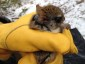 Picture of Elusive Carolina Northern Flying Squirrels in Red Spruce Forests Face Survival Challenges