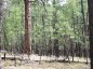 Photo of Thicket of trees in a ponderosa pine forest located on the Long Valley Experimental Forest depicts unhealthy forest conditions. Richard T. Reynolds, USDA Forest Service.