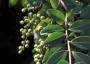Photo of Immature leaves and fruits of the exotic invasive shrub, Chinese privet. James Miller and Ted Bodner, Southern Weed Science Society