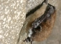 Photo of A little brown bat is infected with white-nose syndrome (WNS).  Nancy Heaslip, NY Department of Environmental Conservation