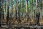 Photo of Longleaf pine stand after a controlled burn. Erich G. Vallery, USDA Forest Service