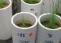 Photo of Longleaf pine seedlings grow in soils compacted at different levels and held at different moisture contents in the greenhouse. Andy Scott, USDA Forest Service