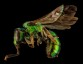 Photo of Augochlora pura was the most abundant bee species in the canopy. Sam Droege, USGS