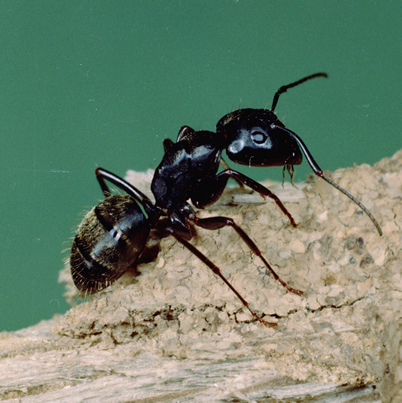 Photo of Researchers studied the effect of diet on carpenter ant brood development. ?Clemson University, USDA Cooperative Extension Slide Series, Bugwood.org