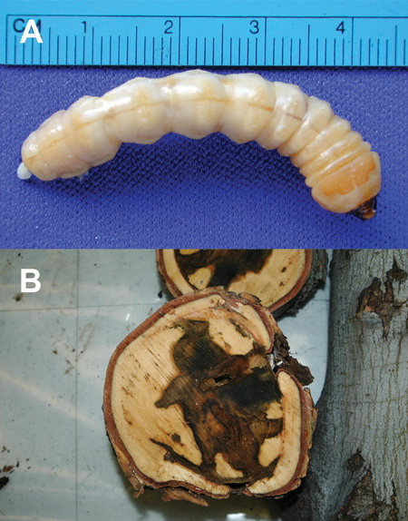 Photo of An Asian long-horned beetle larva, and the damage it causes inside the maple tree. USDA Forest Service
