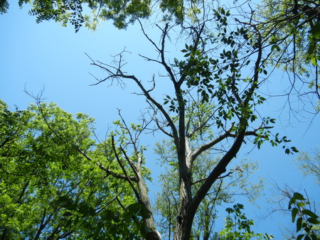 Photo of A butternut tree in southern Wisconsin with symptoms of butternut canker disease. This tree will die soon. Although other butternut trees in the same stand are relatively healthy, their resistance is not genetic but based on favorable site conditions. Nicholas LaBonte, Purdue University