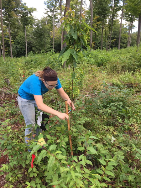 Photo of Summer seasonal Tim Dirgins planting an American chestnut hybrid seedling. USDA Forest Service