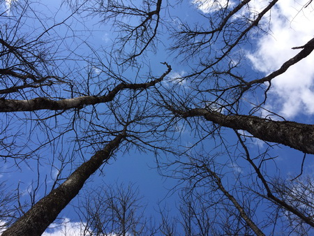 Photo of Black ash killed by gridling to simulate EAB mortality.