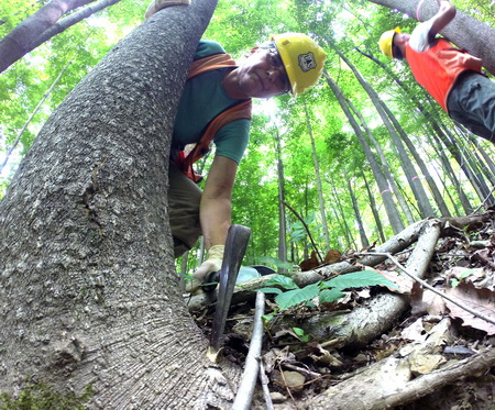 Photo of Inoculation of ailanthus tree with fungal spores by a researcher in Wayne National Forest. USDA Forest Service