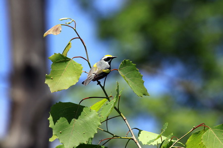 Photo of Golden-winged warbler in young forest habitat. Laura Erickson, Cornell University