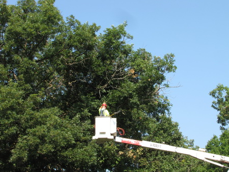 Photo of City forester collecting branch sample from actively wilting white oak tree. USDA Forest Service