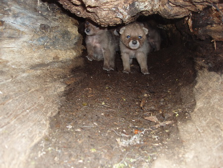Photo of Coyote pups in a log den, New York. Robin Holevinski, SUNY College of Environmental Science and Forestry