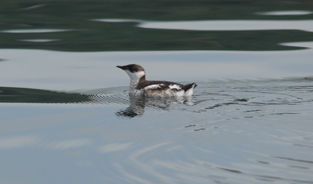 Photo of A marbled murrelet. USDA Forest Service
