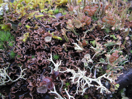 Photo of The tundra of interior Alaska hosts an incredible diversity of moss and lichen species that sequester carbon and regulate the water table, among other ecosystem services. USDA Forest Service.
