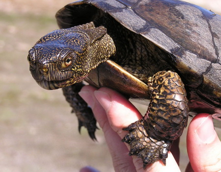 Photo of A western pond turtle at the San Joaquin Experimental Range in California. USDA Forest Service