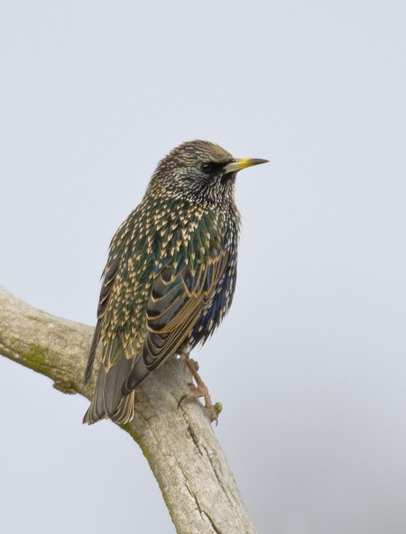 Photo of European Starlings are one of the world's most successful invasive species. Known to compete with native bird species for nest sites, they may also compete with ground-foraging insectivores and other grassland species.