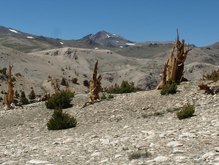 Photo of Limber pine seedlings are migrating upslope in the White Mountains, California, but at only a few locations. Such sites are characterized by the presence of ancient bristlecone pines (Pinus longaeva), which grew there in millennia past under favorable climates, but not at present. Limber pines at this location recruited during the period 1963-2000. White Mountain Peak (14,252'), California's third highest mountain, is in the background. USDA Forest Service