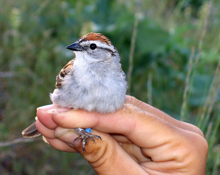 Photo of Adult chipping sparrow banded to allow individual identification (photo by A. Benson) Aubree Benson, University of Montana
