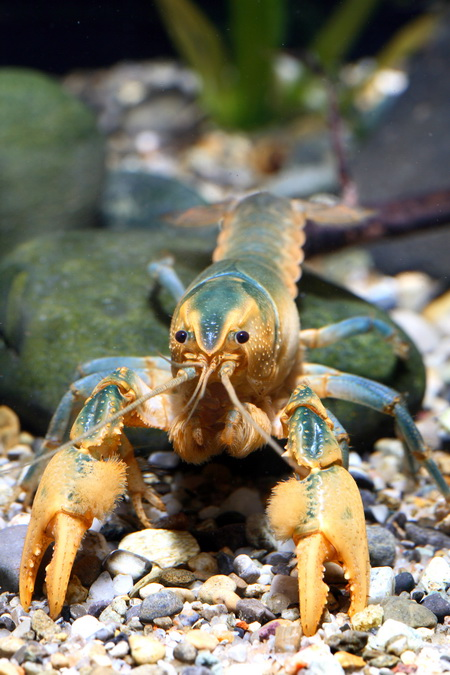 Photo of Male Procambarus barbiger, a burrowing crayfish endemic to Mississippi. Chris Lukhaup, Crusta10