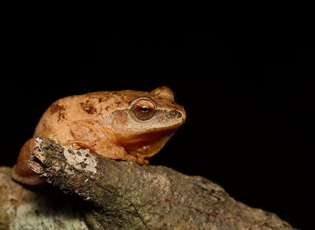 Photo of Spring peeper. USDA Forest Service