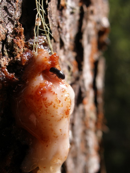 Photo of Newly described pine beetle, Dendroctonus mesoamericanus, initiating a mine into the bark of a healthy pine tree in Chiapas, Mexico.  The beetle is clearing liquid resin being released by the tree as a defensive reaction to prevent beetle entry.  Hundreds of attacks like this one by this species and its close relative the southern pine beetle, Dendroctonus frontalis, can deplete the resin and cause rapid death of the tree.  Once the tree is dead, the beetles feed and reproduce within the bark. USDA Forest Service