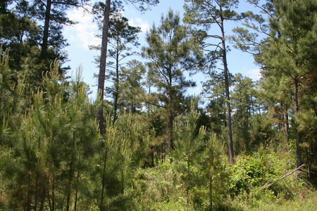 Photo of More than 70 years of uneven-aged silviculture practices in the Farm Forestry Forties of the Crossett Experimental Forest in Arkansas have produced a complex stand with many different age classes capable of responding differently to subtle variations in harvest treatments. USDA Forest Service