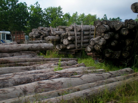 Photo of Seized illegal logs in Riau, Indonesia. CIFOR