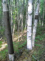 Photo of Paper birch trees with evidence of bark harvesting. USDA Forest Service