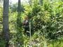 Photo of Tree regeneration 5 years after herciide treatment and shelterwood harvest. USDA Forest Service.