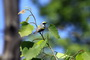 Golden-winged warbler in young forest habitat. Laura Erickson, Cornell University