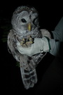 Photo of Researchers put radio tags on barred owls to learn what forest types the owls preferred. USDA Forest Service