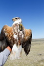 Photo of Ferruginous hawk instrumented with a solar GPS transmitter. USDA Forest Service