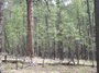 Photo of Thicket of trees in a ponderosa pine forest located on the Long Valley Experimental Forest depicts unhealthy forest conditions. USDA Forest Service