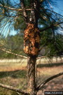 Photo of Sporulating fusiform rust gall on pine. USDA Forest Service - Bugwood.org