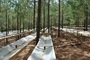 Photo of An exclusion structure allowed researchers to simulate a 30 percent rainfall reduction in the loblolly plots. Marshall A. Laviner, Virginia Polytechnic Institute and State University