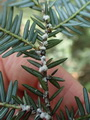 Photo of Predator beetles are used to control hemlock woolly adelgid, an insect pest shown here on an eastern hemlock twig. USDA Forest Service