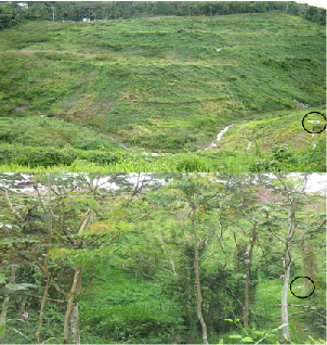 Photo of Forest succession at research site plot in the Chiclana stream, part of the Rio Piedras watershed. Top photo 2006, below 2010. A pluvial structure is marked at the right of each photo for reference. Harold Manrique-Hernandez, San Juan Bay Estuary Program.