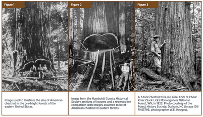 Photo of The compound figure shows historic photos of large trees. the first is one that had been used as an example of an American chestnut in the pre-blight forest, the second photo shows a similar tree and setting that is of a redwood in California, the third photo is a documented photo of a large American chestnut before the blight. The figure was published in the journal Chestnut.