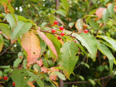 Photo of Pin cherry, (Prunus pensylvanica) is an important source of food for many wildlife species. Scott Stoleson, U.S. Department of Agriculture Forest Service.