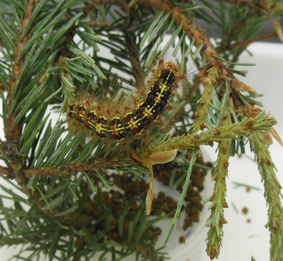 Photo of Asian gypsy moth larva defoliating Douglas fir. Melody A. Keena, U.S. Department of Agriculuture Forest Service.