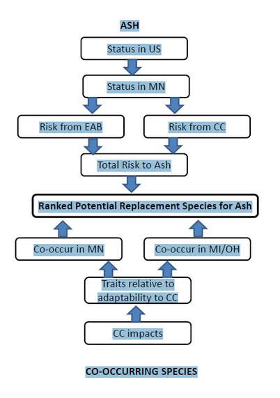 Photo of This flow diagram shows how we ranked species for potential to replace ash: status and risk to ash was considered together with potential of co-occurring species (both in Minnesota and in points south in Michigan and Ohio) to tolerate a changing climate. Louis Iverson, U.S. Department of Agriculture Forest Service.