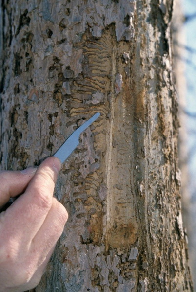 Photo of Gallery pattern of eastern larch beetle under the bark of an infested tamarack.  Steven Katovich, U.S. Department of Agriculture Forest Service, Bugwood.org. Licensed under a Creative Commons Attribution 3.0 License.