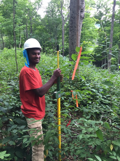 Photo of Forest Service summer intern Daniel Delatte measuring the height of a planted hybrid American chestnut seedling. Cornelia Pinchot, U.S. Department of Agriculture Forest Service.