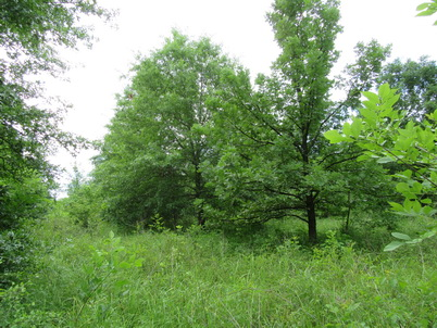 Photo of Fourteen-year-old oaks planted as repeatedly air-root-pruned container stock on mounds on a frequently flooded site high in clay with poor internal drainage. Jerry Van Sambeek, U.S. Department of Agriculture Forest Service.