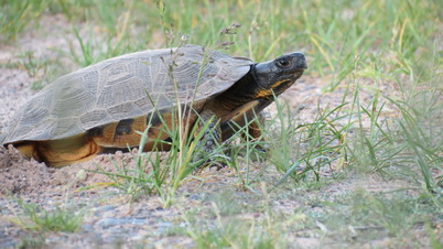 Photo of Wood Turtle. Joel Flory, U.S. Department of Agriculture Forest Service.