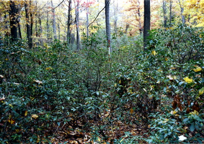 Photo of A mixed-oak forest with a dense understory of mountain laurel in eastern Pennsylvania. Note the 8-foot range pole in the center of the photograph. Recent research shows that when mountain laurel cover exceeds 25 percent, regenerating oaks becomes extremely difficult. Pat Brose, U.S. Department of Agriculture Forest Service.