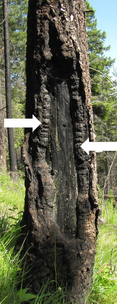 Photo of Ponderosa pine fire scar at the Lolo National Forest in Montana. The fire scar is open with woundwood (white arrows) partially closing over the killed portion of the stem. Kevin T. Smith, U.S. Department of Agriculture Forest Service.