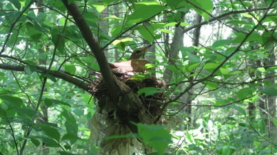Photo of Wood thrush nests were monitored to gauge reproduction on managed forests. Melanie Klein, University of Massachusetts Amherst.