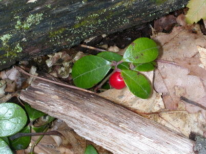 Photo of Example of regionally (Ridge and Valley) defined species Gaultheria procumbens. Cynthia D. Huebner, U.S. Department of Agriculture Forest Service.